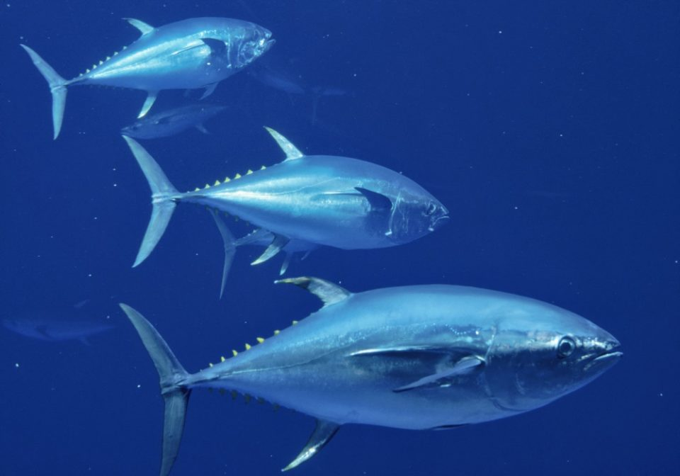 tuna-bluefin