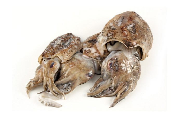 cuttlefish-of-mediterranean-sea