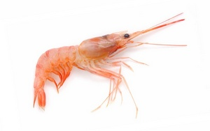 pink-shrimp-of-mediterranean-sea